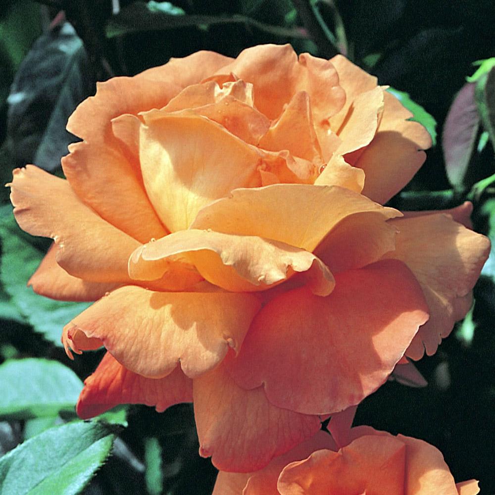 роза луи де фюнес картинки как вашими